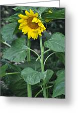 The Tallest Sunflower Greeting Card
