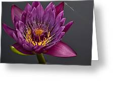 The Tiny Dragonfly On A Water Lily Greeting Card