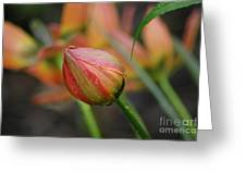 The Tulip Bud Greeting Card