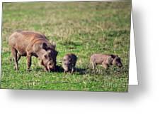 The Warthog Family On Savannah In The Ngorongoro Crater. Tanzania Greeting Card
