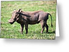 The Warthog On Savannah In The Ngorongoro Crater. Tanzania Greeting Card