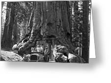The Wawona Giant Sequoia Tree Greeting Card