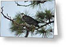 The Wild Osprey Greeting Card