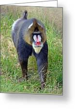 The World's Largest Species Of Monkey The Mandrill  Greeting Card