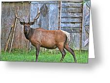 There's An Elk By The Barn Greeting Card
