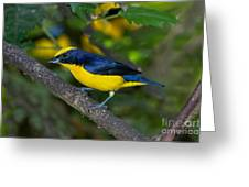 Thick-billed Euphonia Greeting Card