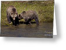 Thirsty Grizzlies  #3418 Greeting Card