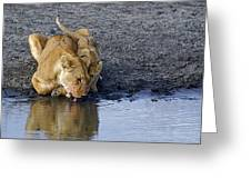 Thirsty Lions Greeting Card