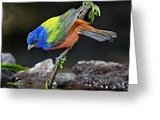 Thirsty Painted Bunting Greeting Card