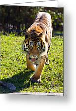 Thirsty Tiger Greeting Card