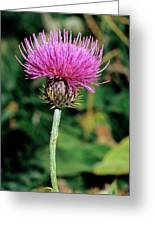 Thistle (carduus Carlinaefolius) Greeting Card