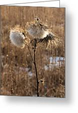 Thistle Fluff Greeting Card