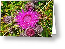 Thistle In Saint Mary's Ecological Reserve-newfoundland Greeting Card