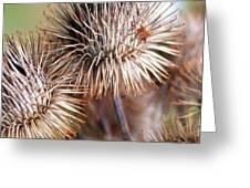 Thistle Seedheads Greeting Card