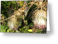 Thistle2 Greeting Card