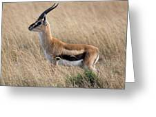 Thompson's Gazelle Greeting Card