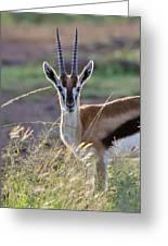 Thomson's Gazelle (gazella Thomsoni Greeting Card