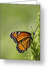 Those Magnificent Monarchs - Danaus Plexippus Greeting Card