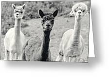 Three Alpaca Friends Greeting Card