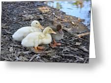 Three Baby Ducks Greeting Card