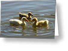 Three Baby Ducks Swimming Greeting Card