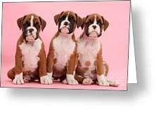 Three Boxer Puppies Greeting Card