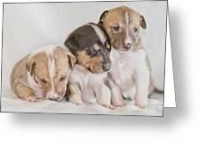 Three Collie Puppies Greeting Card