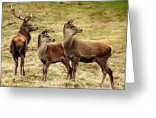 Wildlife Three Red Deer Greeting Card