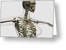 Three Dimensional View Of Female Rib Greeting Card by Stocktrek Images