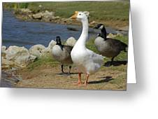 Three Geese Just Srolling Along Greeting Card
