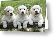 Three Golden Retriever Puppies Greeting Card