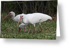 Three Ibis Together Greeting Card