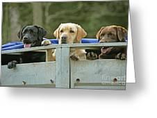 Three Kinds Of Labradors Greeting Card
