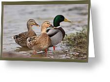Three Mallards Card - Ducks Greeting Card