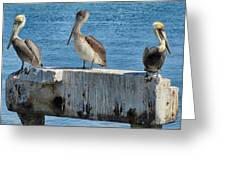 Three Pelicans Greeting Card