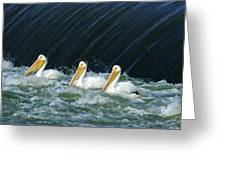 Three Pelicans Hanging Out  Greeting Card