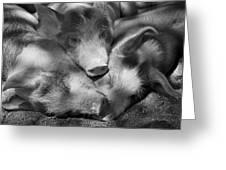 Three Piglets Sleeping Against Each Greeting Card