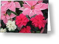 Three Pink Poinsettias Greeting Card