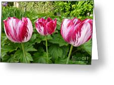 Three Pink Rembrandt Tulips Greeting Card