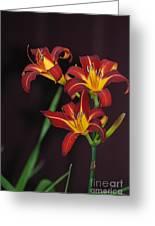 Three Red Daylilies Greeting Card