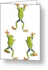 Three Red Eyed Tree Frogs Climbing Greeting Card