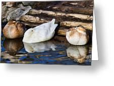 Three Sleeping Ducks Greeting Card