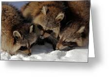 Three Sweet Raccoons Greeting Card