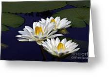 Three White Tropical Water Lilies Version 2 Greeting Card