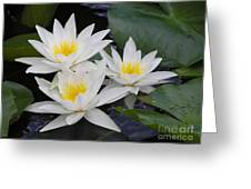 Three White Waterlilies Greeting Card