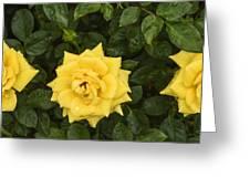 Three Yellow Roses In Rain Greeting Card