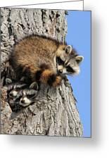 Three Young Raccoons Greeting Card