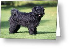 Tibetan Terrier Dog Standing Greeting Card