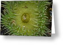 Tidal Pool Anemone Greeting Card