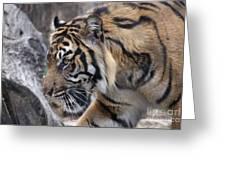Sumatran Tiger-5418 Greeting Card